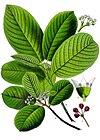 Rhamnus purshiana - Köhler–s Medizinal-Pflanzen-121.jpg
