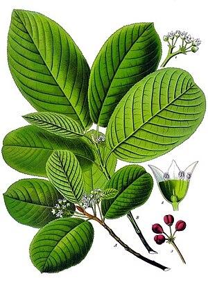 Rhamnus purshiana - Image: Rhamnus purshiana Köhler–s Medizinal Pflanzen 121