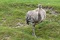 Rhea pennata (Nandou de Darwin) - 123.jpg
