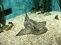 Rhina ancylostoma busan aquarium.jpg