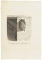 Rhinolophus spec. - 1700-1880 - Print - Iconographia Zoologica - Special Collections University of Amsterdam - UBA01 IZ20800125.tif