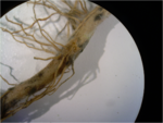Rhizoctonia Root Rot on Corn.png