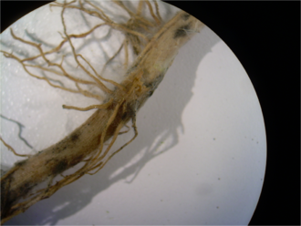 Damping off - Rhizoctonia solani root rot on corn roots, magnified 0.63X