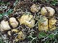 Rhizopogon re soil.jpg