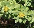 Rhodiola rosea (male s7).jpg