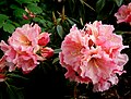 Rhododendron .Bambino. (8170861825).jpg