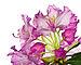 Rhododendron smirnowii blossom IMGP3243.jpg