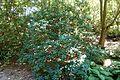 Rhododendron thomsonii - VanDusen Botanical Garden - Vancouver, BC - DSC07170.jpg