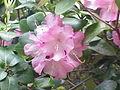 Rhododendron williamsianum5.jpg