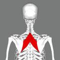 Rhomboid major muscle back.png