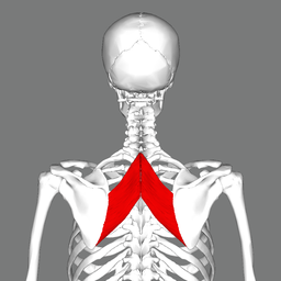 Rhomboid major muscle back