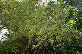 Rhus mysorensis (Mysore Sumac) W IMG 3602.jpg