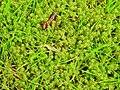Rhytidiadelphus squarrosus 131793371.jpg