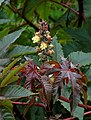 Ricinus March 2010-1.jpg
