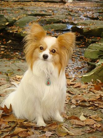 Papillon dog - A lemon and white Papillon