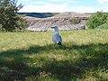 Ring-billed Gull at the Midland Provincial Park, Alberta.jpg