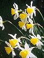 Roadside daffodils - geograph.org.uk - 550933.jpg