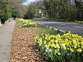Roadside daffodils on Warley Road at Headley Common - geograph.org.uk - 1231119.jpg