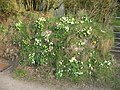 Roadside flowers - geograph.org.uk - 393173.jpg