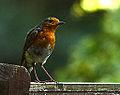 Robin (9358605754).jpg