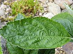 Rock Whitebeam-leaf upper 1.jpg