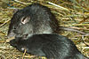 Two dark grey rats with long bald tails and short rounded ears eating a piece of corncob in an artificial habitat strewn with hay