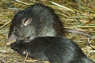 Black rat Species of rodent