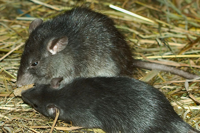 Potkan tmavý