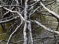 Roots Parkers Creek Jordan Lake NC SP 3818 (36009136861).jpg