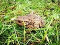 Ropucha obecná v trávě (Bufo bufo).jpg