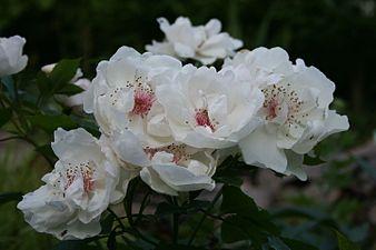 Rosa 'Harwanna' 2013 207.JPG