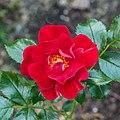 Rosa 'Matador' (actm).jpg
