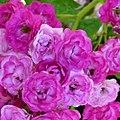"Rosa ""Allevia"" o VEL15mrora. 03.jpg"