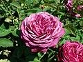 Rosa Heidi Klum Rose 2019-06-05 7606.jpg