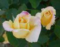 Rosa Lemon Spice 1.jpg