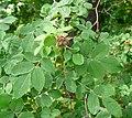 Rosa majalis fruit (05).jpg