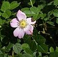Rosa rubiginosa inflorescence (17).jpg