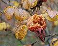 Rosa rugosa (Norway).JPG