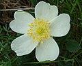 Rosa spinosissima inflorescence (18).jpg