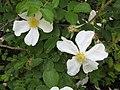 Rosa x paulii HRM1.JPG