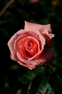 Rose, Kallinka - Flickr - nekonomania (6).jpg