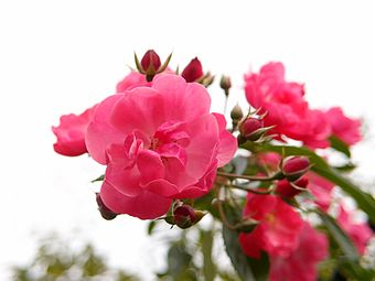 Rose Angela バラ アンジェラ (6315097626).jpg