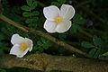Rose Flowers - geograph.org.uk - 1316060.jpg