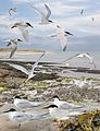 Roseate Tern from the Crossley ID Guide Britain and Ireland.jpg