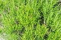 Rosmarinus officinalis in Jardin des 5 sens (3).jpg