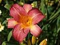 Rosy Cheery Cheeks.jpg