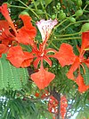 RoyalPoincianaFlower.jpg