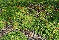 Rubus-xanthocarpus-habitus.JPG
