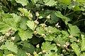 Rubus parvifolius 02.jpg