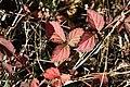 Rubus parvifolius to put on autumnal tints.JPG